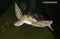 0606-0903  Atlantic Green Sea Turtle Swimming Underwater, Chelonia mydas  © David Kuhn/Dwight Kuhn Photography