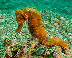 "It is not uncommon to find good-sized seahorses (5-7 inches / 12-17 cm) out on the sandy bottom or attached to a small clump of detritus in an otherwise featureless plain of sand.  Those of us who dive mostly in the Atlantic or Caribbean are accustomed to seeing them only rarely, and we expect to find them ""hiding"" in relatively busy environments, with lots of coral and plant attachment points.  Such ""natural"" attachments are not as common in the sandy Lembeh strait, making the seahorses there correspondingly easier to spot and photograph."