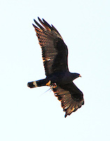 Zone-tailed hawk carrying lizard to nest
