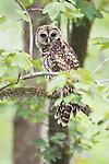 Louisiana, near Vacherie, Barred Owl