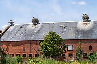 Junge Weißstörche (Ciconia ciconia) im Nest auf dem Dach einer Scheune im Dorf Rühstädt, Europäisches Storchendorf, Prignitz, Brandenburg, Deutschland