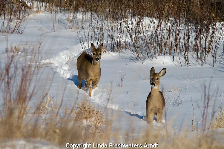 White-tailed deer (Odocoileus virginianus) following a trail through the deep snow