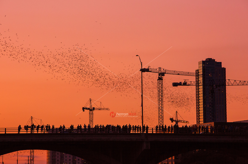 Every year 1.5 Million Mexican free-tailed bats call Austin home, typically arriving as the warm weather sets back in the Spring. They stay in Austin until early fall, and are the largest urban bat colony in North America. When in Austin, they camp out on downtown's Congress Avenue Bridge. You can stand on the bridge at dusk and watch the bats emerge as a black cloud against the sunset as they seek out their insect dinners.