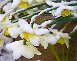 Vashon Island, Washington<br /> Daffodils (Narcissus sp.) bent over by a wet spring snow