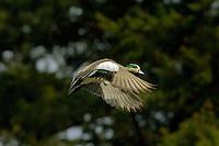 American Wigeon drake (Anas americana).  Pacific Northwest.