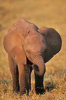 Young african elephant calf (Loxodonta africana).