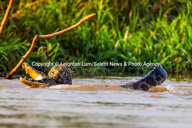 """MAKE IT SNAPPY...... A jaguar battles with a thrashing caiman in the Cuiaba River of Brazil in an attack that only lasted a minute.  The brief but dramatic battle was observed in the Pantanal in Brazil, which is the largest wetlands in the world.<br /> <br /> The jaguar had the adult Yacare Caiman, which was around 8ft long, by the neck before dragging it back to land.<br /> <br /> Photographer Leighton Lum, 32, said """"This jaguar attack was over in minutes, all we saw was a big splash. From the time we got there it had already made its first strike and had the caimen up by the neck. Their jaws are so strong! The jaguar bit through the caimans thick skin and snapped its neck in less than a minute.  It then took another 2 minutes to drag the carcass out of the river and up the bank out of sight from us.""""<br />  <br /> """"It seemed as if the caiman was held helpless once the jaguar got ahold of its neck. It tried to roll out of it but was no match for this jaguar.""""<br />  <br /> Please byline: Leighton Lum/Solent News<br /> <br /> © Leighton Lum/Solent News & Photo Agency<br /> UK +44 (0) 2380 458800"""