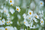 Cluster of ox-eye daisies (Leucanthemum vulgare) in an ancient Alpine meadow. Nordtirol, Austrian Alps, Austria, June.