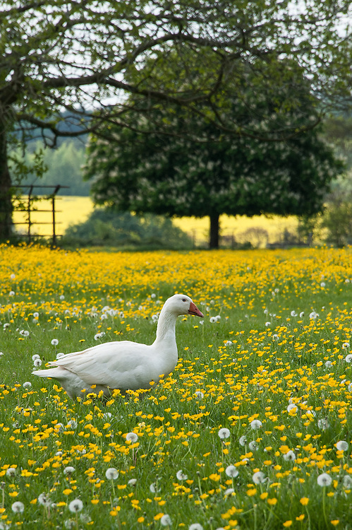 Goose in a field of buttercups, Rousham House and Garden.