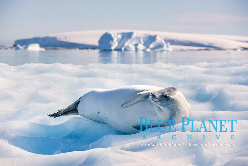 Leopard Seal (Hydrurga leptonyx) lying on an ice floe, Antarctica