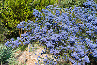 Ceanothus Dark Star showing blue flowered entire shrub bush