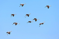 Sandhill Cranes (Grus canadensis) in flight. Central Nebraska. March.