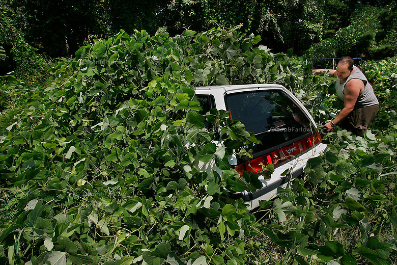"""Jason Millsaps rips into a shroud of kudzu covering a car in his Georgia yard. Kudzu is a tenacious growing 60 feet annually. It infests 7 million acres throughout the southeastern United States.<br /> <br /> Kudzu (Pueraria montana), a native of Japan, China, Taiwan, Korea, Vietnam, Thailand, Philippines and Pacific islands--was introduced into the United States from Japan in 1876 at the Philadelphia Centennial Exposition. It was promoted as an ornamental and for animal feed and first planted in Florida in the 1920s. From 1935 to the mid-1950s, farmers in the South were encouraged to plant kudzu to reduce soil erosion, and the Civilian Conservation Corps planted it widely for many years. <br /> <br /> Kudzu forms a dense thicket of little use to wildlife and crowds out other plants, disrupting the ecosystem. Its tuberous root habit makes eradication of this <br /> species difficult. <br /> <br /> Kudzu nicknamed """"the vine that ate the south,"""" was eventually recognized as a pest weed by the U.S. Department of Agriculture and, in 1953, was removed from its list of permissible cover plants."""