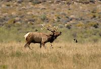 628850123 a wild bull tule elk cervus nannodes bugles in an open field off highwy 395 near big pine california species is endnageered  - ref dlw1776-77