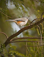 Small tufted Titmouse in profile in a hemlock tree, vertical