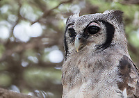We found a surprising number of Verreaux's eagle-owls in Ndutu. However, most of them were fairly shy.