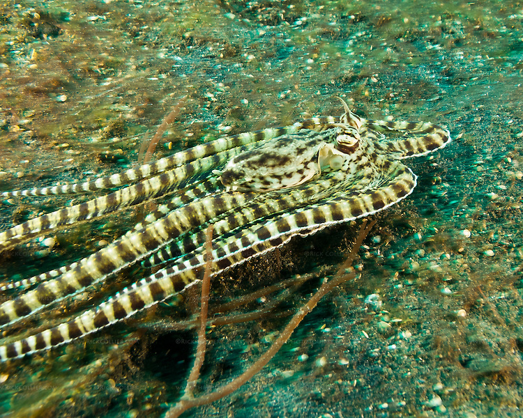 """A mimic octopus tries to get away from divers, making its best """"I am a flounder"""" impression."""