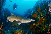sand tiger shark, Carcharias taurus, aka grey nurse shark, spotted ragged-tooth shark, or blue-nurse sand tiger, Porth Elizabeth, Algoa Bay, Nelson Mandela Bay, South Africa, Indian Ocean, MR
