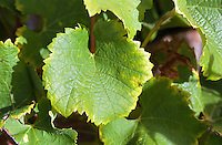 A Semillon leaf   at harvest time  Chateau Raymond Lafon, Meslier, Sauternes, Bordeaux, Aquitaine, Gironde, France, Europe