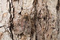 Braune Erdeule, Braune Staudenflureule, Rotgefranste Erdeule, Diarsia brunnea, purple clay, purple clay moth, Eulenfalter, Noctuidae, noctuid moths, noctuid moth