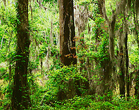 Bald cypress and oak trees with Spanish moss along Clark Lake Delta National Forest Mississippi