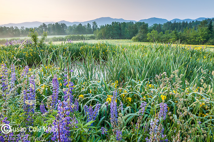 Lupines and Yellow flag iris (Iris pseudacorus) blooming in Sugar Hill, NH, USA