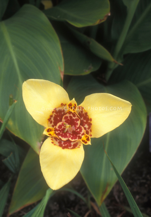 Tigridia pavonia or Tiger Flower, a yellow and red color variety of the bulb species