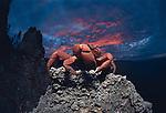 Red crab at sunset.Gecarcoidea natalis