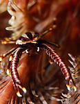 Elegant Crinoid Squat Lobster, Allogalathea elegans, Underwater macro marine life images;  Photographed in Tulamben; Liberty Resort; Indonesia.Underwater Macro Photographer on FB 2nd Annual event