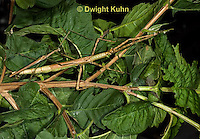 OR07-528z  Walking Stick Insects mating, Acrophylla wuelfingi