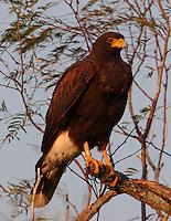 Harris's hawk adult in tree, banded bird