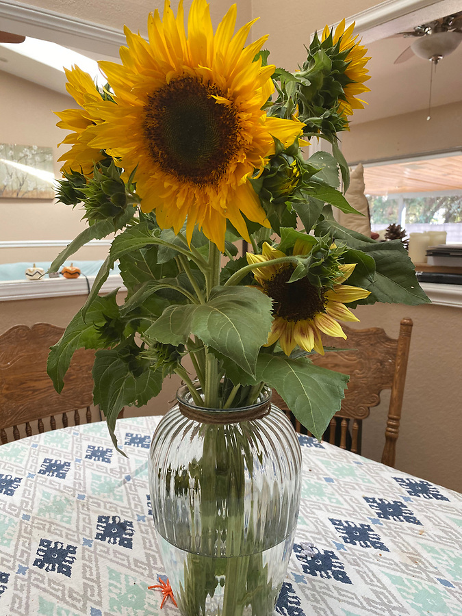 sunflowers just picked from a farm california