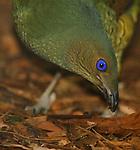 Satin Bowerbird, Ptilonorhynchus violaceus