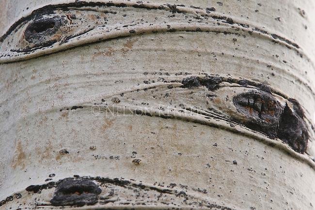 Detail view of aspen tree bark