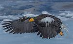 Steller's Sea Eagles, Hokkaido, Japan , Rausu
