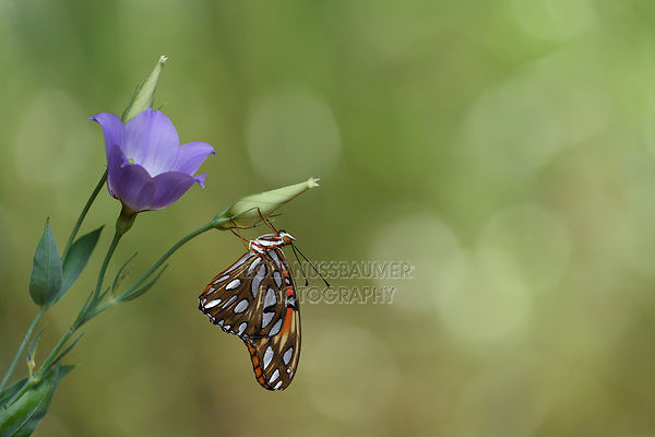 Gulf Fritillary (Agraulis vanillae), adult perched on Bluebell gentian (Eustoma exaltatum), Hill Country, Central Texas, USA