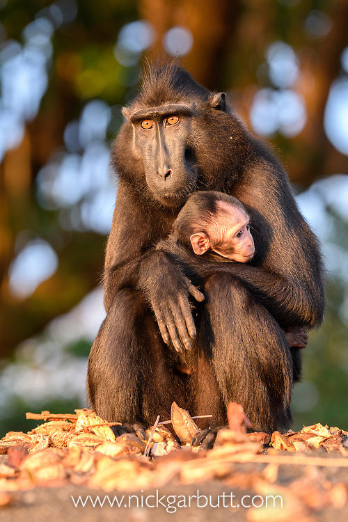 Mother and baby Sulawesi or Celebes crested macaque or Sulawesi or Celebes black macaque (Macaca nigra)(known locally as yaki or wolai). Tangkoko National Park, Sulawesi, Indonesia.