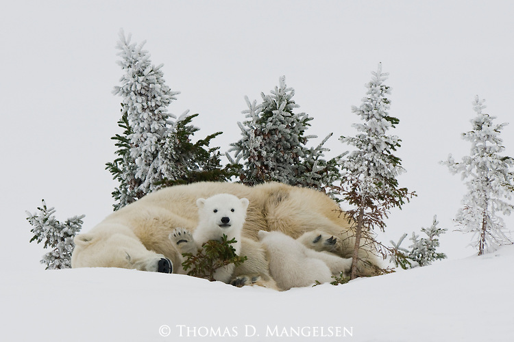 A polar bear cub waves to the world as its mother and sibling nap in the soft snow in Manitoba, Canada.