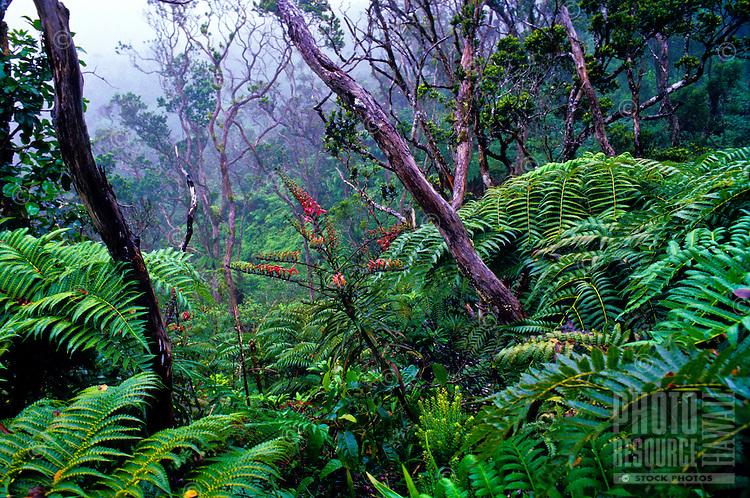 Kolii (Trematolobelia kauaiensis) in pristine native rainforest along Pihea Trail, near Alakai Swamp Trail. A lobelioid endemic to Kauai.