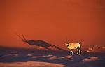 Oryx-Antelope in front of red sand dune at Sossusvlei, Namib-Naukluft National Park, Namib Desert, Namibia