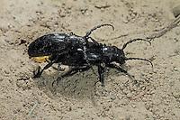 Erdbock, Paarung, Kopulation, Dorcadion spec., Longhorn beetle, pairing, copulation
