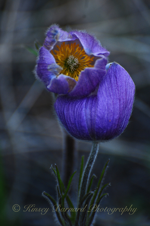"""""""PASQUE FLOWER""""<br /> <br /> The Pasque Flower is another of Montana's treasures. One of my favorite wildflowers this pasque was particularly elegant."""