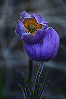 """PASQUE FLOWER""<br />