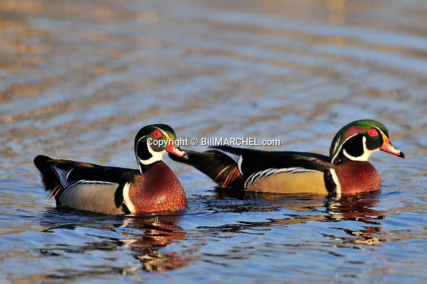 00360-100.12 Wood Duck pair of drakes on the water of marsh.  Waterfowl, wetland, color.