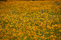 Large field of bright yellow Coreopsis wildflowers
