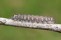 Unmarked Dagger Moth (Acronicta innotata) caterpillar, Great Smoky Mountains National Park