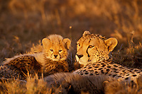 Cheetah (Acinonyx jubatus) mother and young, Masai Mara National Reserve, Kenya.