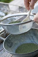 Brennnessel-Samen, Brennnesselsamen, Brennessel-Samen, Samen von Brennnesseln, Samen werden durch ein Küchensieb gesiebt, gereinigt, Kräuterernte, Brennnessel, Große Brennnessel, Brennessel, Urtica dioica, Stinging Nettle, common nettle, nettle, nettle leaf, seed, seeds, La grande ortie, ortie dioïque, ortie commune