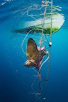 California Bat Ray, Myliobatis californica caught in a gill net intended for California Halibut. Guerero Negro, Baja, Mexico, Pacific Ocean