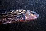 Fallfish close-up